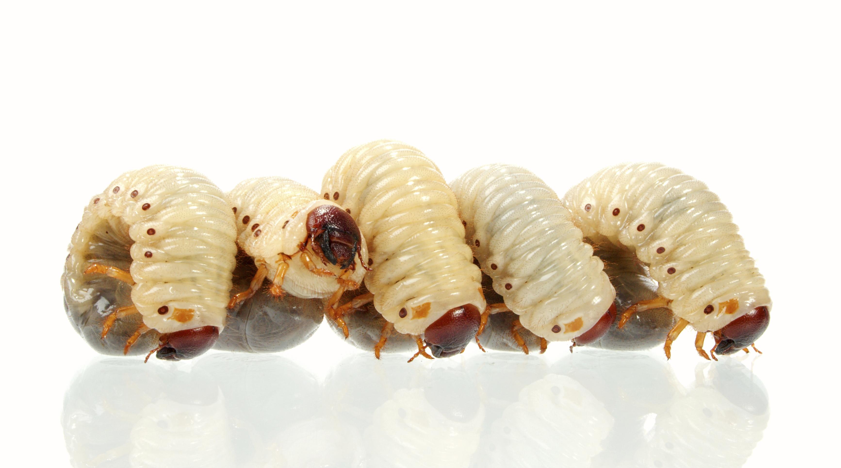 larvas de mosca en la piel video